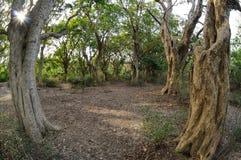 Tropikalni drzewa w Keoladeo parku narodowym Zdjęcia Stock