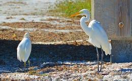 Tropikalni Egret ptaki Obraz Royalty Free