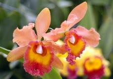 Tropikalni Epifityczni Storczykowi Dendrobium gatunki obrazy stock
