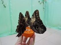 Tropikalni motyle jedzą pomarańcze od ręk mężczyzna obraz stock