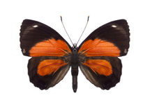 Tropikalni motyli inkasowi Callicore gatunki Fotografia Stock