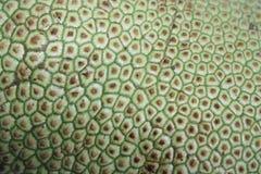 Tropikalni owoc, pulutan, lub jackfruit Obraz Royalty Free
