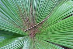 Tropikalni palma liście Zdjęcie Stock