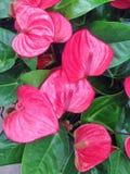 Tropikalni różowi anthurium kwiaty Zdjęcie Stock