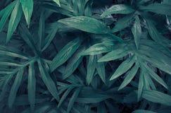 Tropikalni zieleni liście Lasia spinosa na ciemnym tle, fotografia royalty free