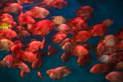 Tropikalny akwarium zbiornik z czerwieni rybą na pokazie zdjęcia stock