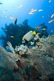 tropikalny angelfish cesarz Fotografia Royalty Free