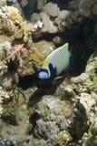 tropikalny angelfish cesarz Obraz Royalty Free