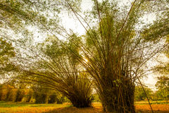 Tropikalny bambusa ogród Fotografia Stock