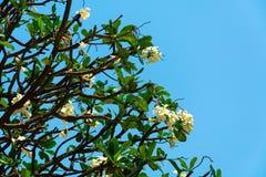 Tropikalny białych kwiatów frangipani z zielenią opuszcza b (plumeria) Zdjęcie Stock