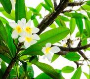 Tropikalny białych kwiatów frangipani z zielonymi liśćmi (plumeria) Zdjęcia Stock