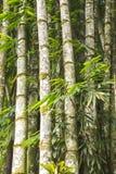 Tropikalny brazylijski bambus, bambusa tulda zdjęcie royalty free