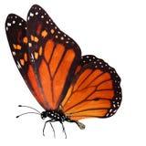 Tropikalny czerwony motyl z nogami i antennae pojedynczy białe tło zdjęcia royalty free