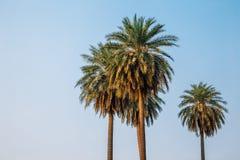 Tropikalny drzewko palmowe z niebieskim niebem zdjęcia royalty free