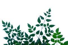 Tropikalny drzewo opuszcza z gałąź na białym odosobnionym tle fotografia royalty free