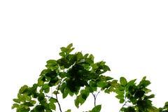 Tropikalny drzewo opuszcza z gałąź na białym odosobnionym tle dla zielonego ulistnienia tła zdjęcia royalty free