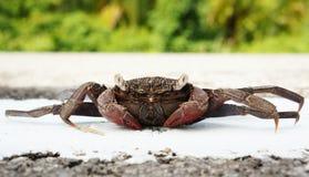 Tropikalny ducha krab na nowej drodze Fotografia Stock