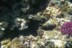 Tropikalny egzot ryba acanthurus podwodny w wodnym Czerwonym morzu Zdjęcia Royalty Free