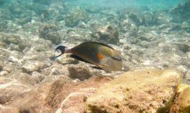 Tropikalny egzot ryba acanthurus podwodny w wodnym Czerwonym morzu Obraz Royalty Free