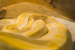 Tropikalny egzotyczny żółty boa terrarium Zdjęcie Royalty Free