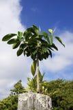 tropikalny fencepost drzewo Obraz Royalty Free