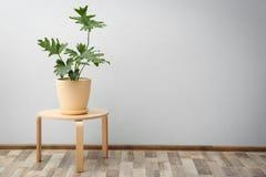 Tropikalny filodendron z dużymi liśćmi Zdjęcie Royalty Free