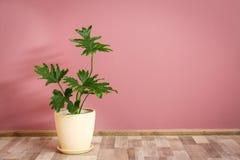 Tropikalny filodendron z dużymi liśćmi Zdjęcia Royalty Free