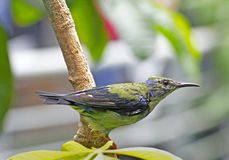 tropikalny gałęziasty zielony hummingbird Zdjęcie Royalty Free