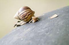 Tropikalny Gruntowy ślimaczek (Achatinidae) Zdjęcie Stock