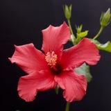 tropikalny hibiskus Obrazy Stock