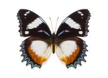 Tropikalny inkasowy motyli Hypolimnas dexithea Zdjęcia Stock