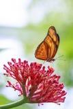 Tropikalny Julia Dryas iulia motyli karmienie i odpoczywać na przepływie Fotografia Stock