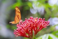 Tropikalny Julia Dryas iulia motyli karmienie i odpoczywać na przepływie Obraz Royalty Free