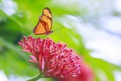 Tropikalny Julia Dryas iulia motyli karmienie i odpoczywać na przepływie Obraz Stock