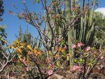 Tropikalny kaktusa ogród Zdjęcia Stock