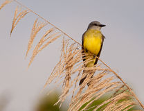Tropikalny Kingbird Obrazy Stock