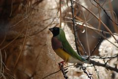 Tropikalny kobiety Gouldian Finch obraz stock