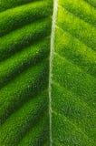 tropikalny kosmaty liść Zdjęcia Stock