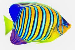 Tropikalny Królewski Angelfish Fotografia Stock