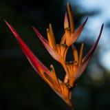 Tropikalny kwiat Obrazy Stock