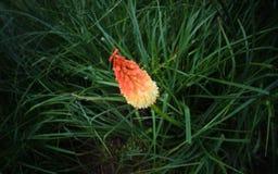 tropikalny kwiat Zdjęcie Royalty Free