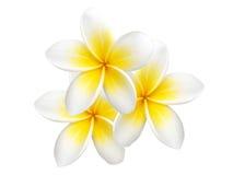 Tropikalny kwiatu frangipani odizolowywający Zdjęcie Royalty Free