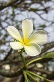 Tropikalny kwiatu frangipani plumeria fotografia royalty free