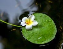 Tropikalny kwiatu frangipani & x28; plumeria& x29; Zdjęcia Stock