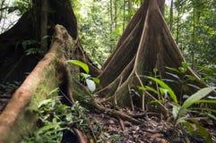 Tropikalny las deszczowy, Borneo Obrazy Stock