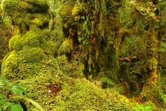 Tropikalny las deszczowy, Olimpijski park narodowy, Waszyngton Obraz Stock