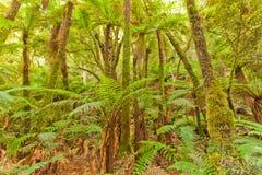 Paprociowy drzewny tropikalny las deszczowy pustkowie Otago Nowa Zelandia Obraz Royalty Free