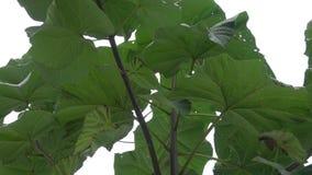 Tropikalny liść, wielki ulistnienie, gigantyczny liść zbiory wideo