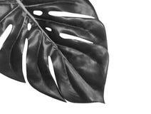 Tropikalny liścia monstera zakończenie odizolowywający na białym tle, czarny i biały Palmowego liścia frontowy widok obrazy stock