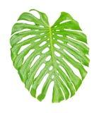 Tropikalny liścia zakończenie up z wodnymi kroplami Obrazy Royalty Free
